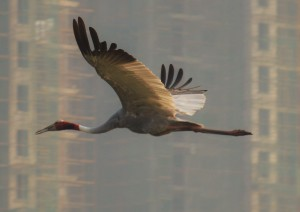 Sarus Crane at Basai Wetlands in front of ATS Triumph